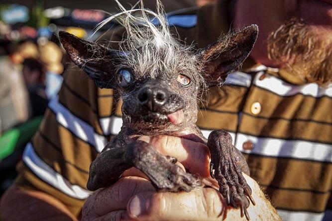 Esta perrita de raza chihuahua a los 17 años, fue la ganadora del concurso de Perro Más Feo del Mundo.